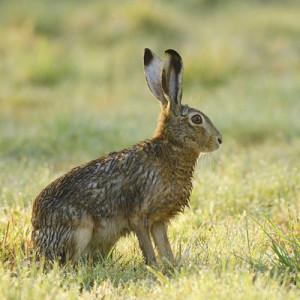 Chasse a le li vre sauvage marrakech maroc lanato chasse - Comment se debarrasser des lapins sauvages ...